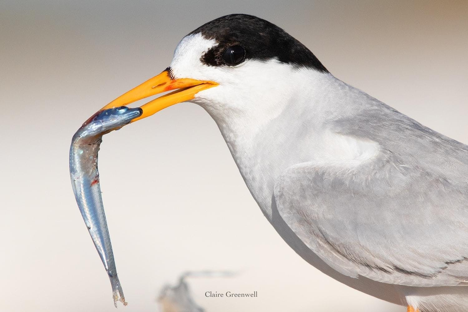 Fairy Tern - Image by Claire Greenwell.JPG