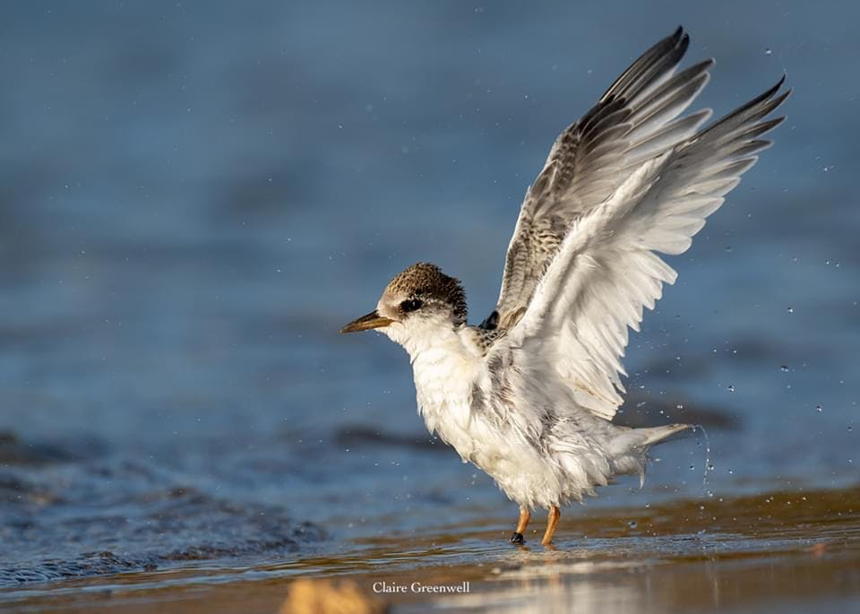 Fairy Tern chick - Image by Claire Greenwell.JPG