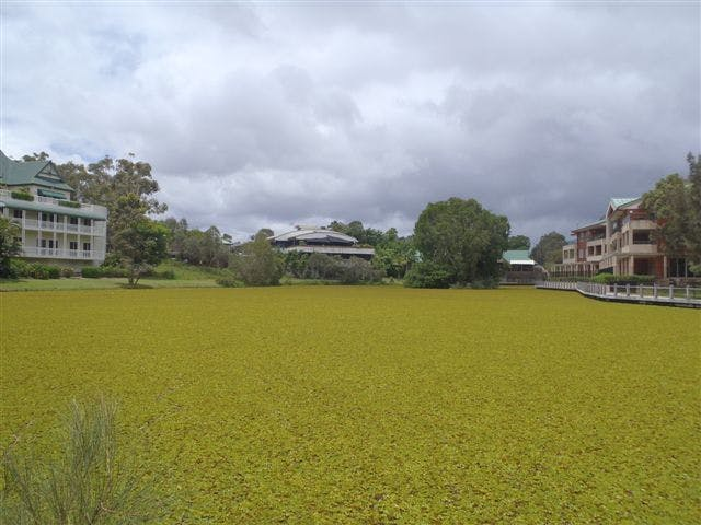 Lake Orpheus before Salvinia was mechanically removed