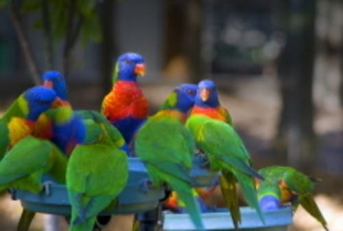 Birds Rainbow Lorikeets Bunch