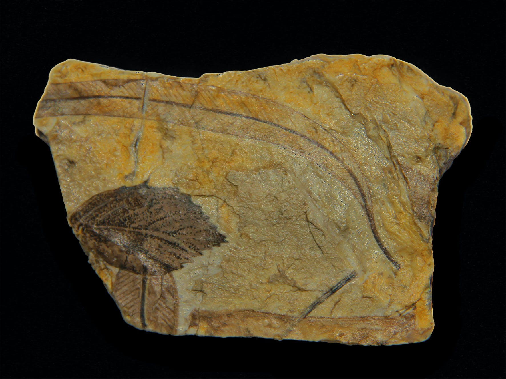Wbp Fossil