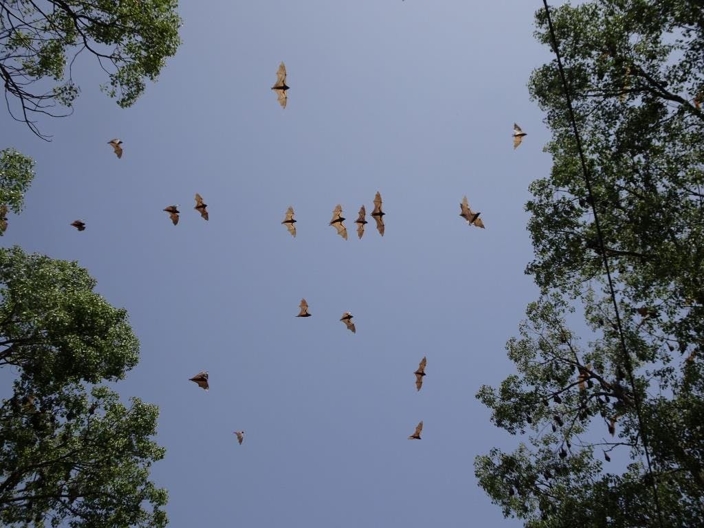 Flying-foxes South Grafton