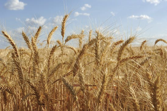 Image of a field of wheat