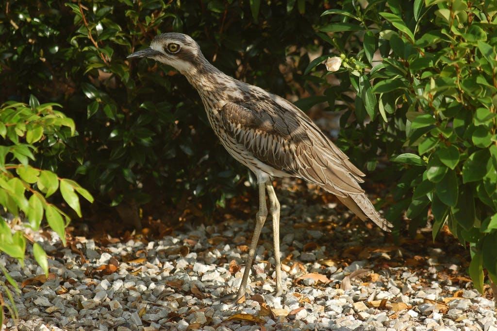 Endangered Bush Stone - curlew in the Tweed. Image credit Peter Wilk