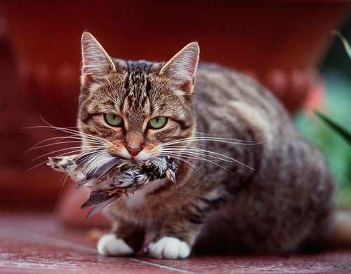 Cats Kill Wildlife