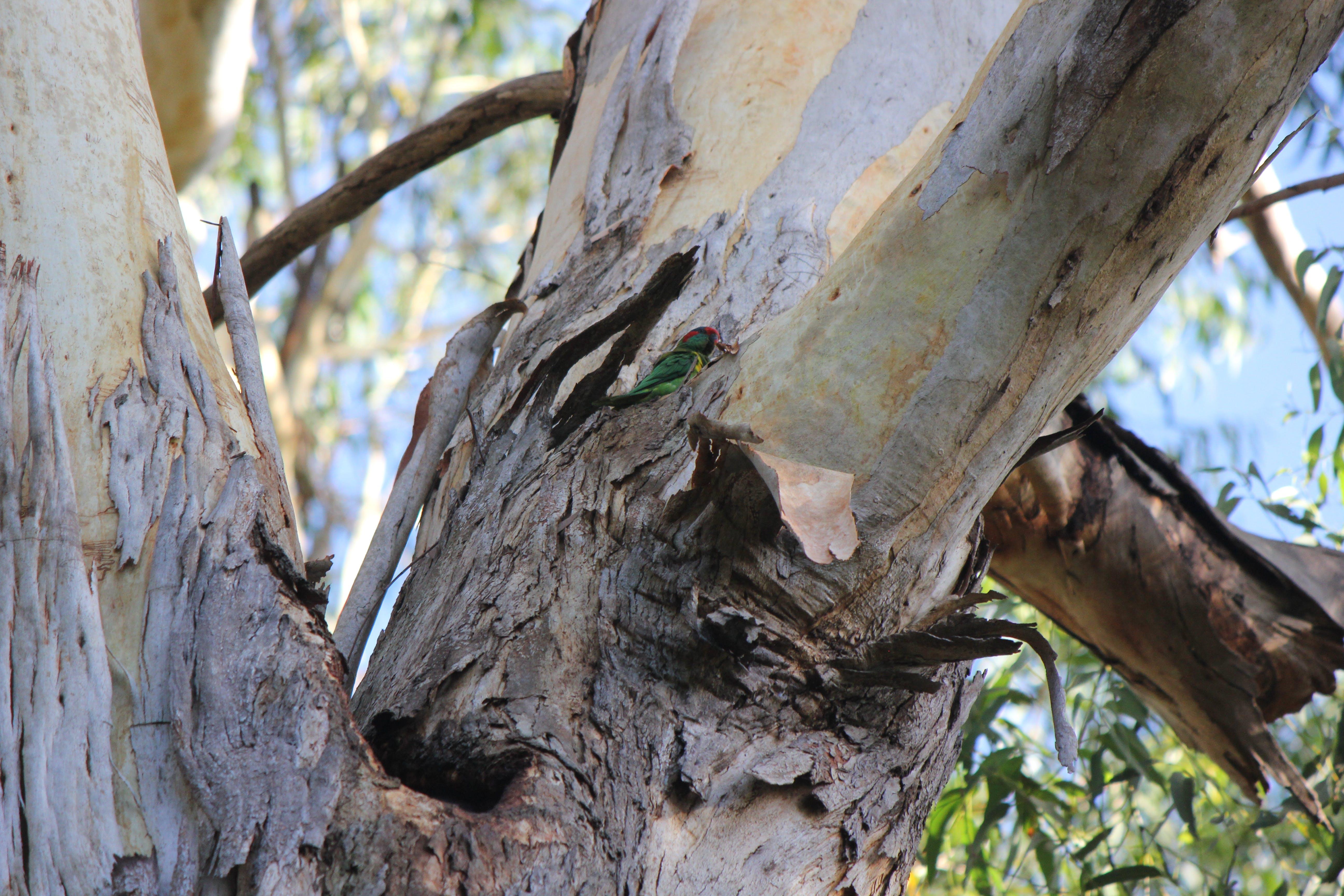 Musk lorikeet (Glossopsitta concinna)