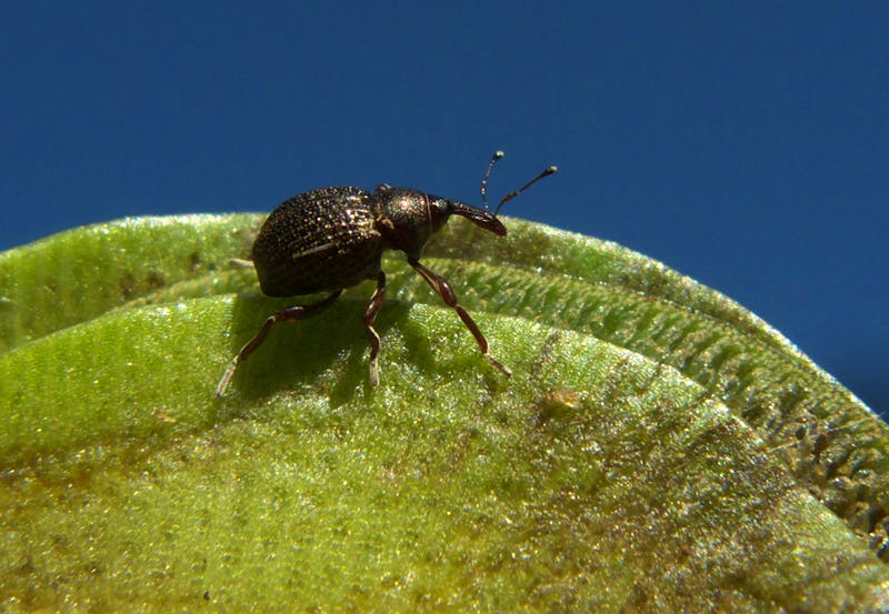 Salvinia weevil a biological control agent for salvinia