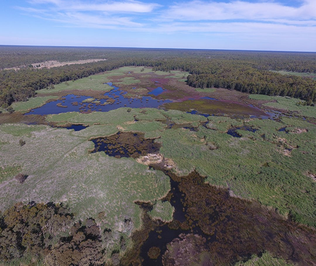 Reed Beds wetland and key colonial waterbird breeding area in Millewa forest (Murray Valley National Park). Photo: Vince Bucello