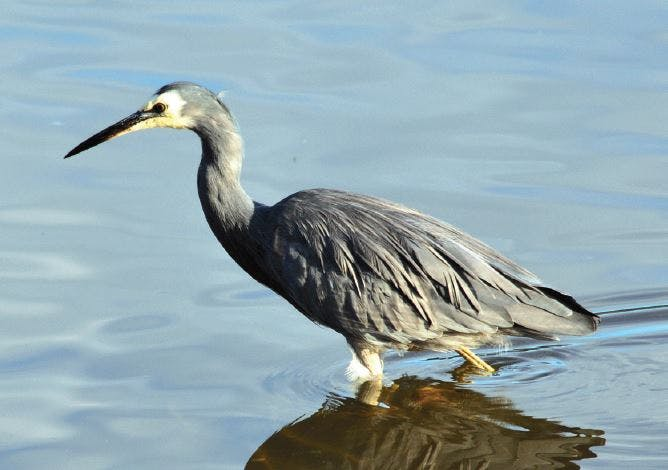 Wading white-faced heron