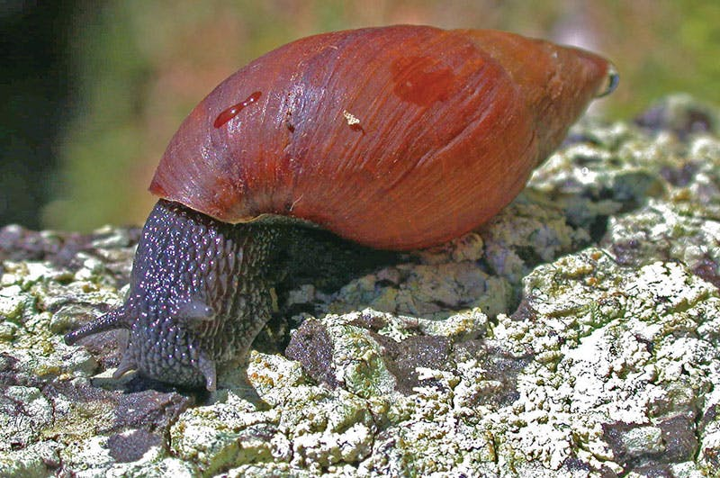 Lord Howe island features amazing biodiversity – including this gorgeous snail. Photo credit: N Carlile, OEH.