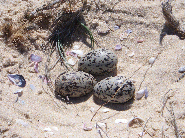 Pied oystercatcher eggs on beach. Photo: J Dunn.