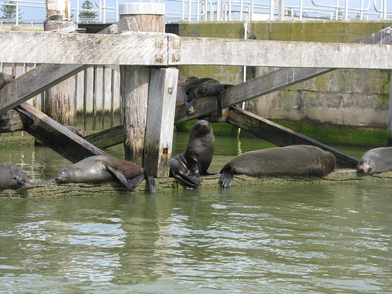 Seals resting at Goolwa Barrages - Murray Mouth
