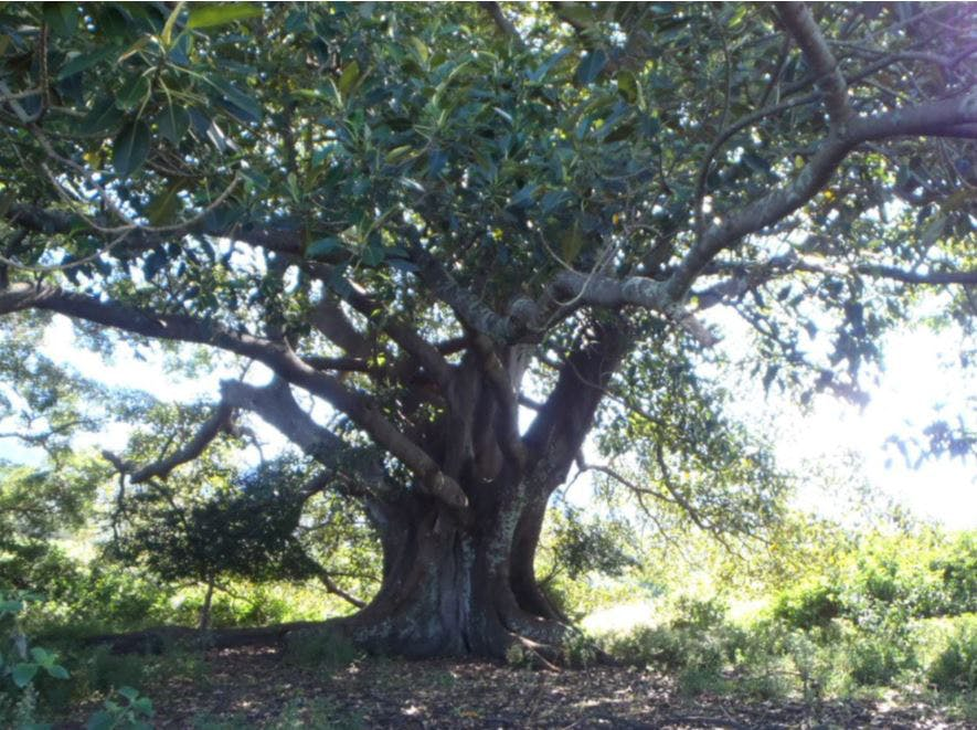 Moreton Bay Fig (Karreuaira)