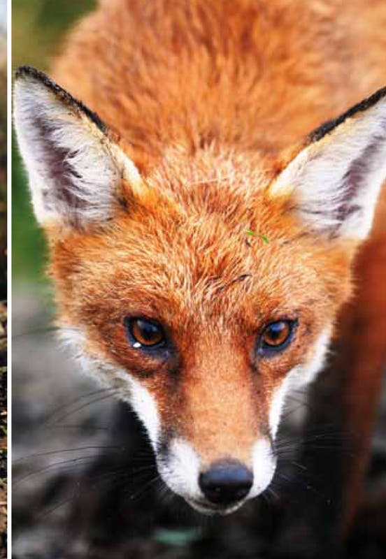 Fox: managed to reduce impacts on domestic & native animals