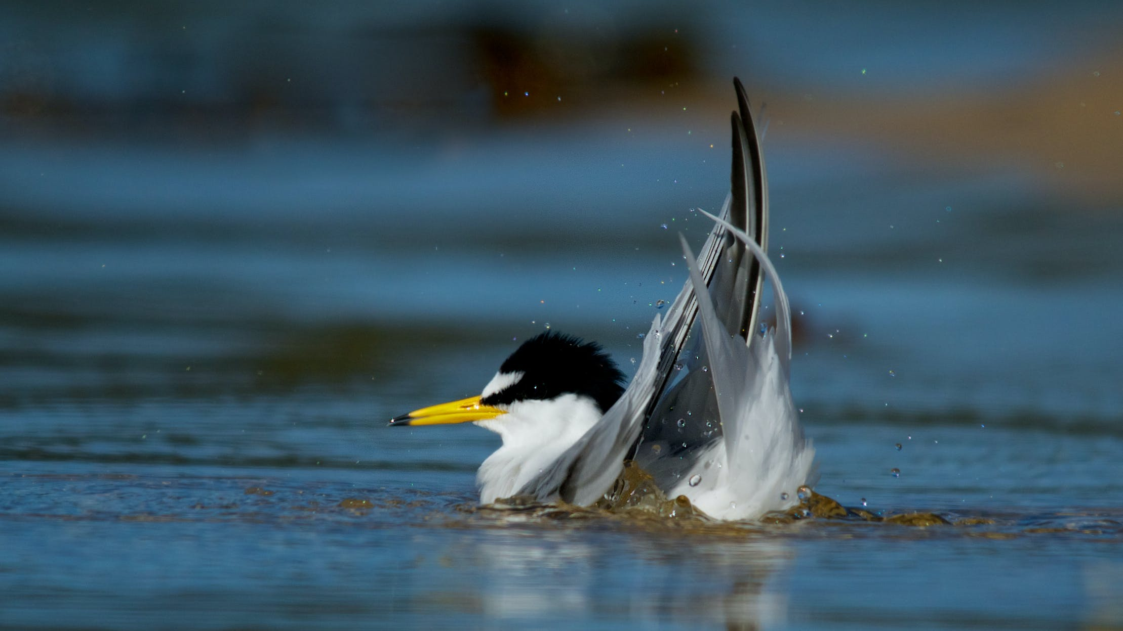 Little tern adult bathing. Photo: J Cornish.