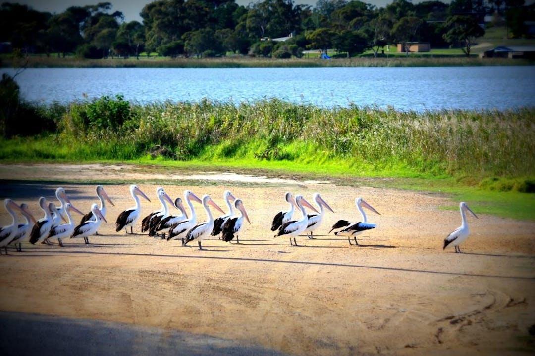 Pelicans clayton bay