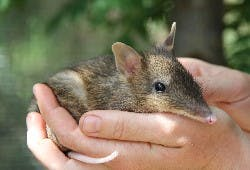 Eastern Barred Bandicoot baby