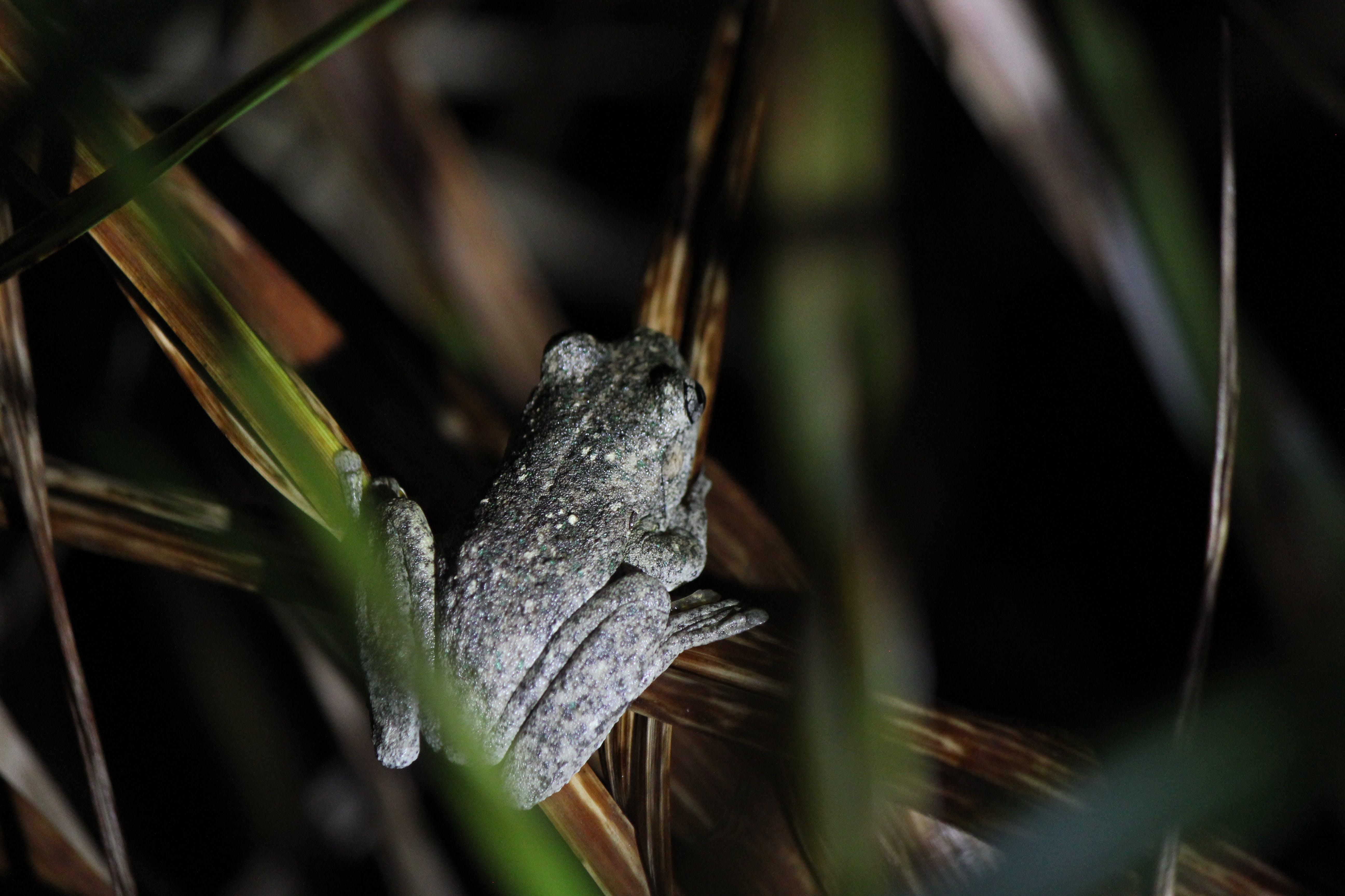 Peron's Tree Frog (Litoria peronii)