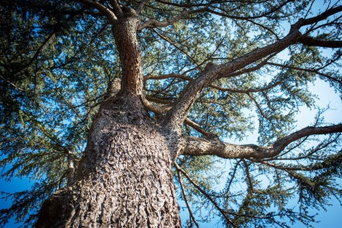 Trunk of tree, canopy and sky looking up from ground