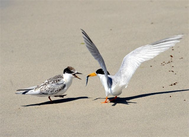 Fairy Tern feeding chick - Image by Sean Emmett.JPG