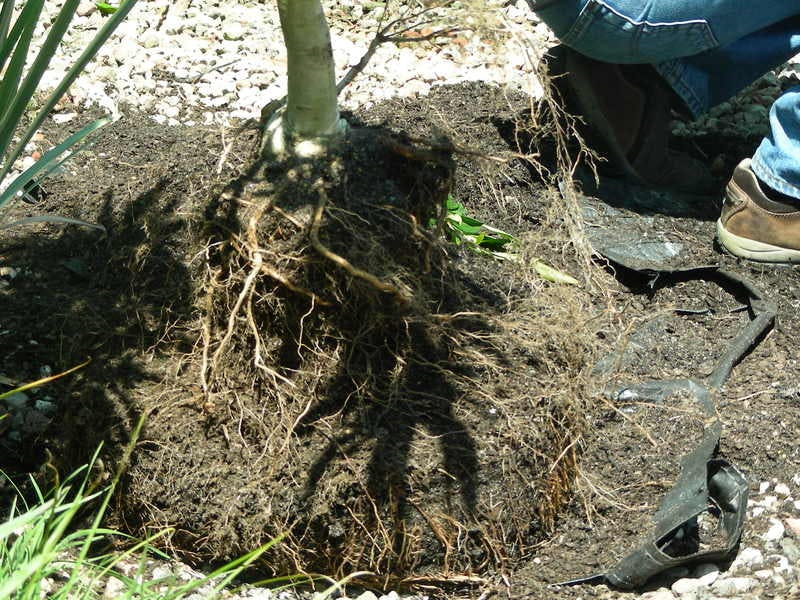 Poor root system development on a Flowering Pear