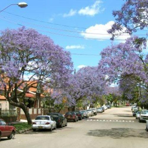 Jacarandas In Bloom In  Cardigan Street Camperdown