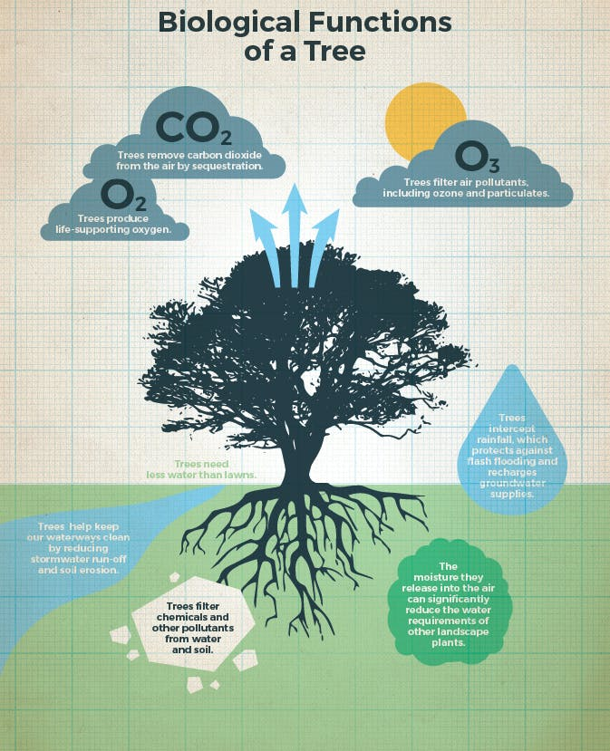 Biological Functions Of A Tree