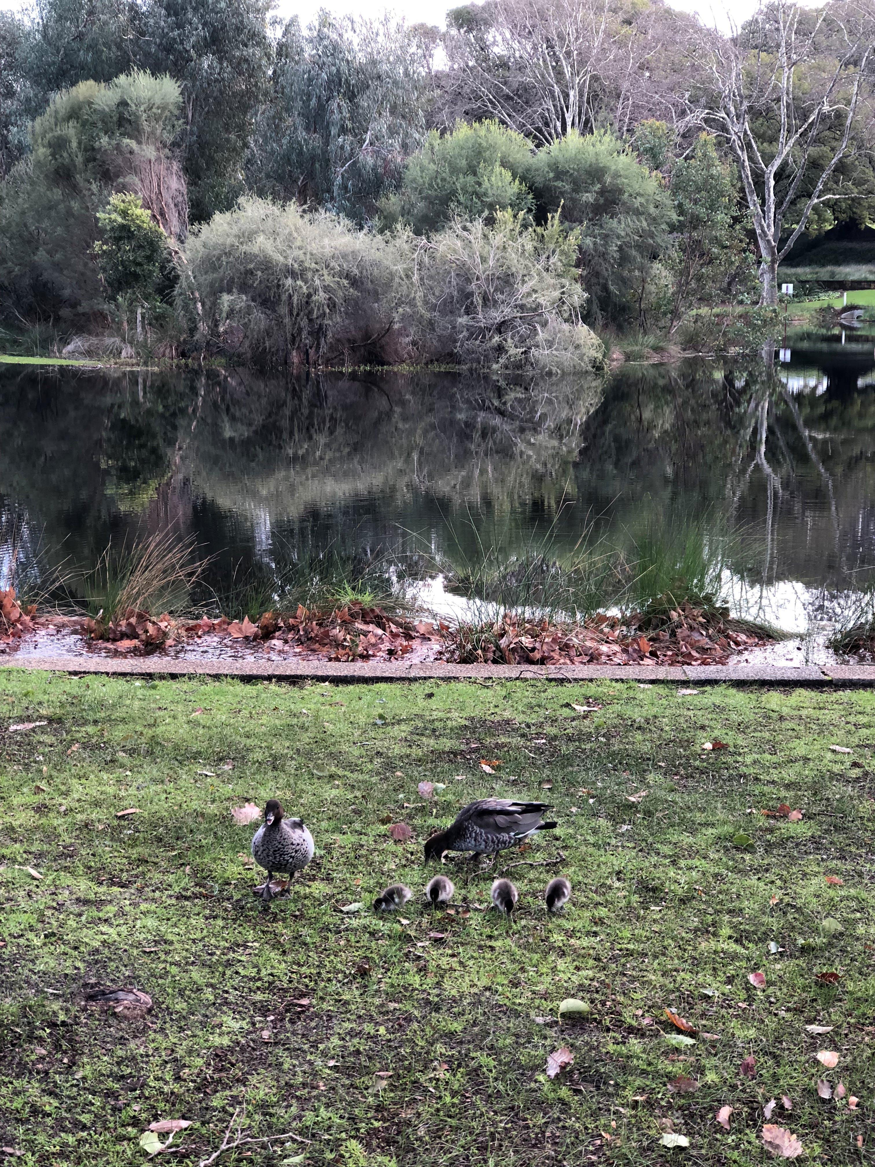 Ducks in Hyde Park
