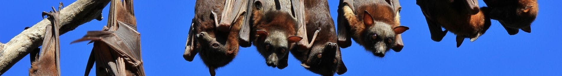 Fruit bats or flying foxes