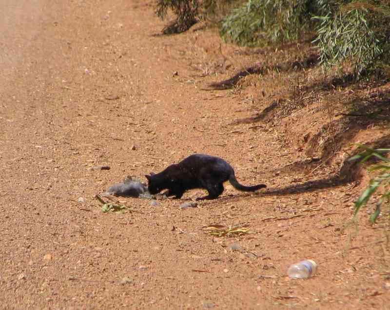 Feral cat (Felis catus) scavenging on roadside