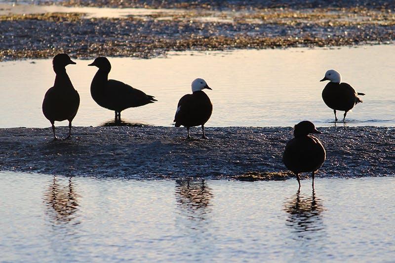 Paradise ducks on the Otakaro Avon River