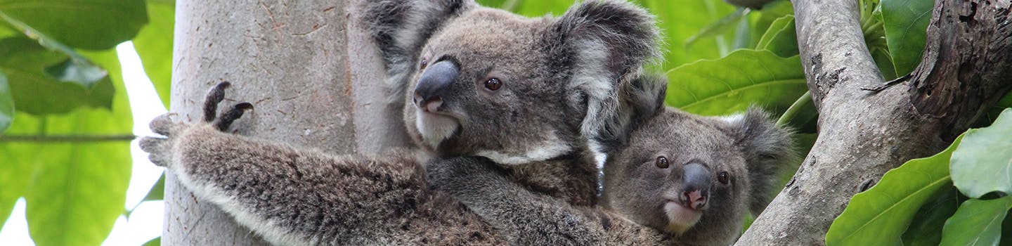Koala and joey sitting in tree