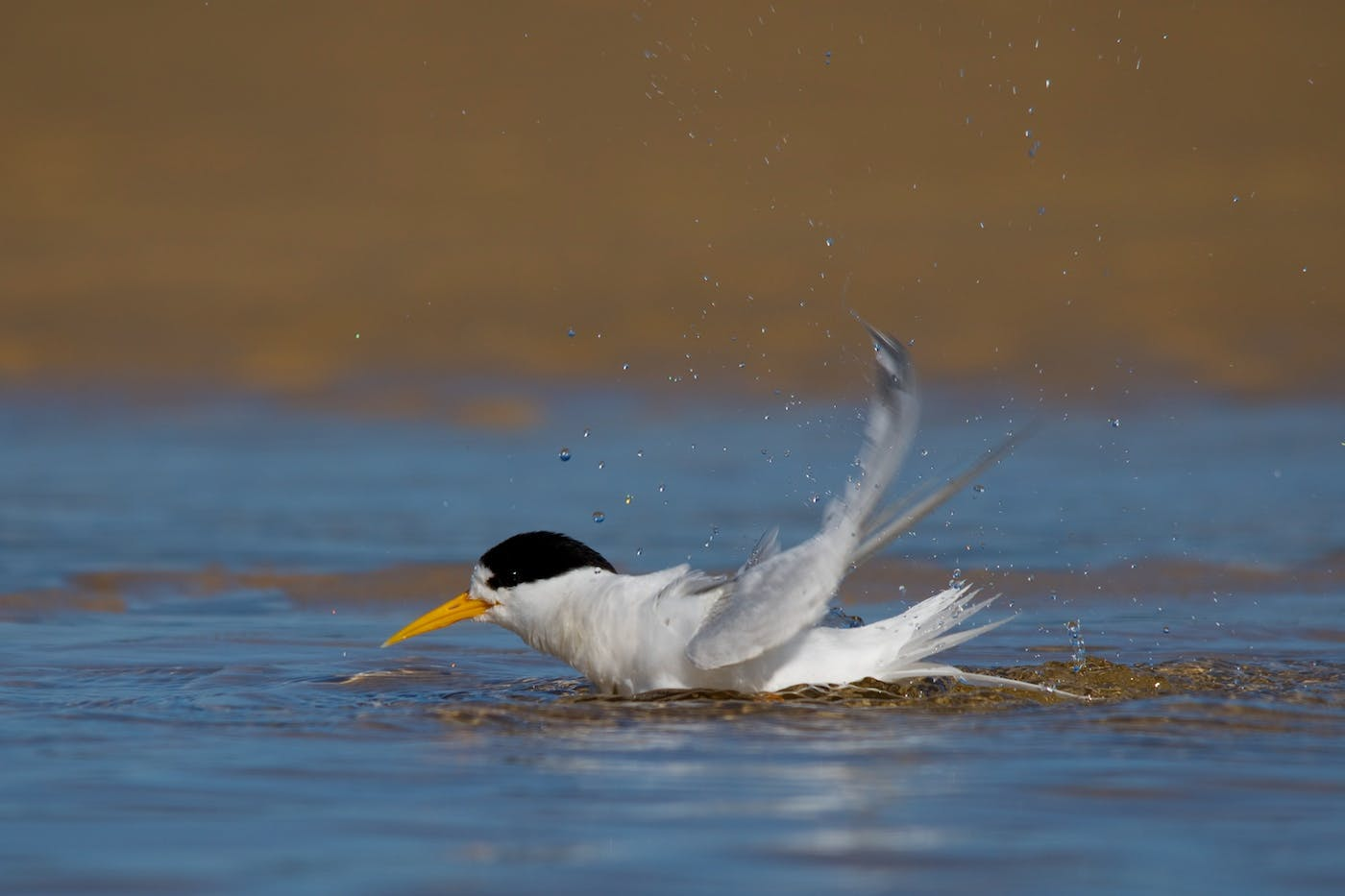 Fairy tern bathing in Tuross Lake. Fairy terns look very similar to little terns but have orange-yellow bills - little terns' bills are more yellow, and are black-tipped. Photo: J Cornish.