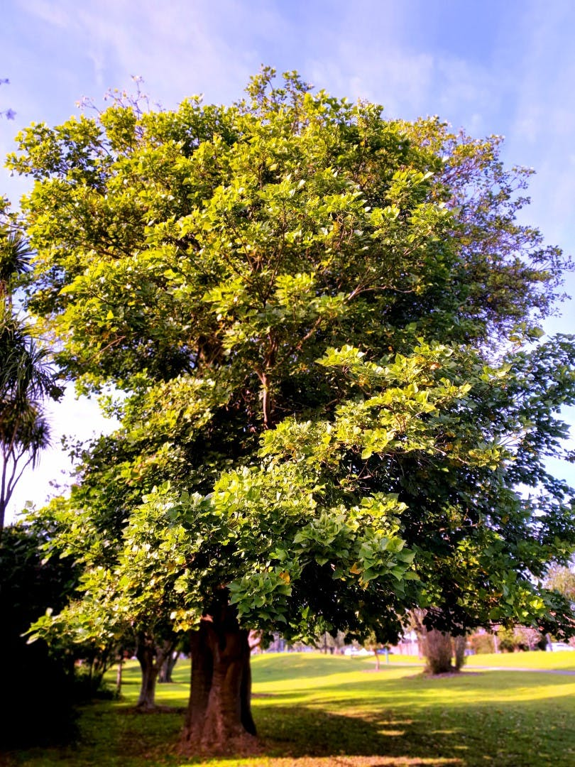 Erythrina indica - Coral Tree