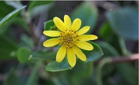 Bitou Bush (Chrysanthemoides monilifera) is a coastal invasive species and is listed under the Queensland Biosecurity Act 2014.