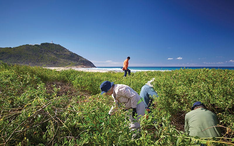 South Smokey Beach: Nature Nomads biodiversity volunteers removing weeds. Photo credit: N Cubbin, OEH.