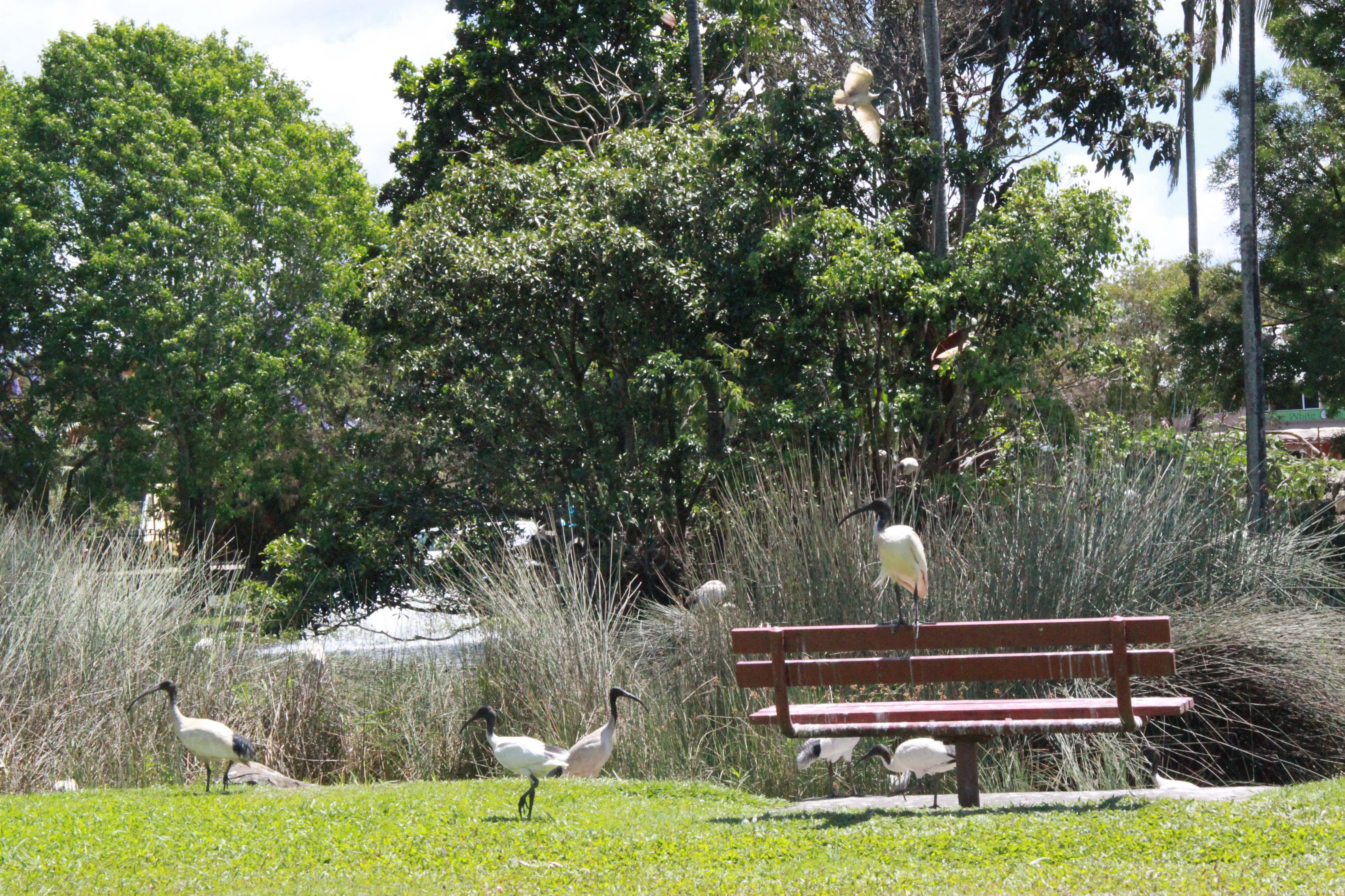 The pond has attracted a large ibis population.