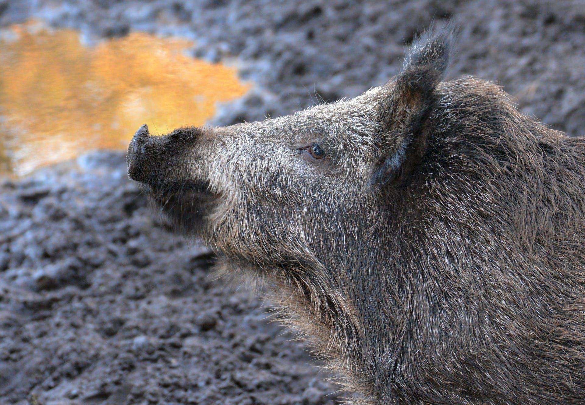 Wild pig.jpg