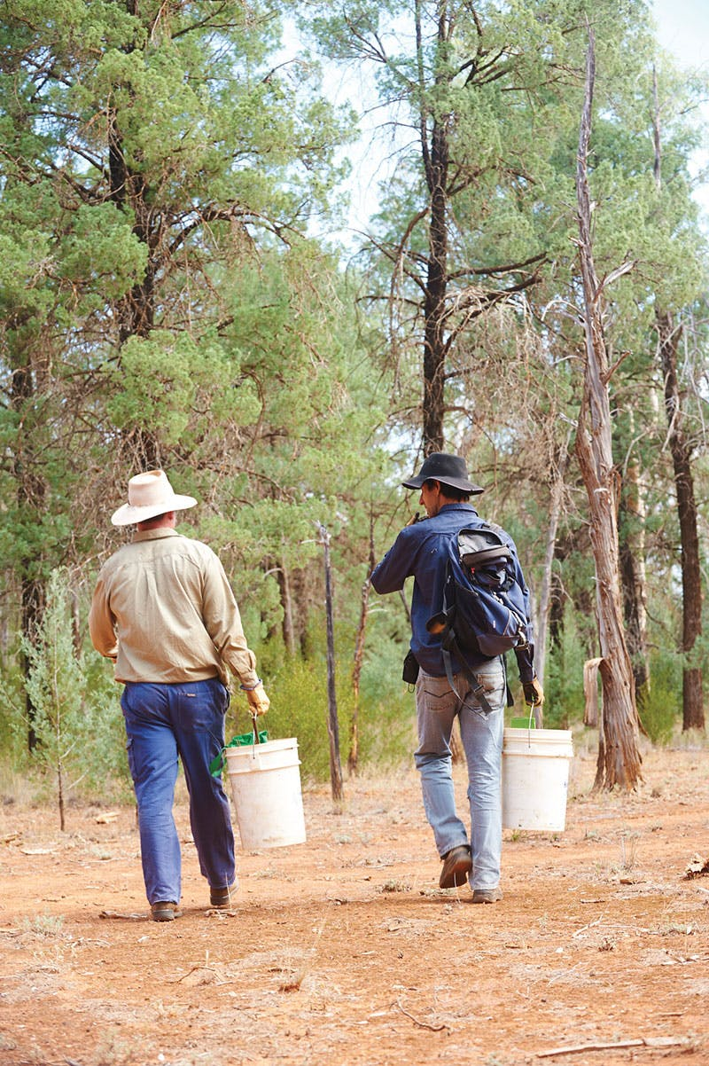 Scientists out near Nymagee examine grazing land and health of trees. Photo credit: P Robey, OEH.