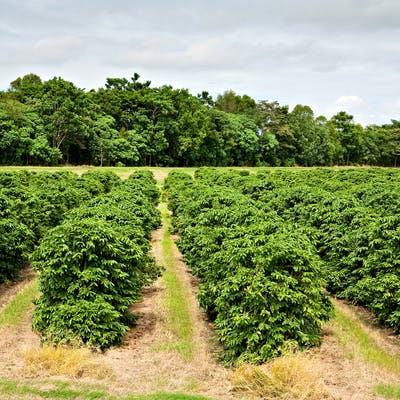 Coffee plantation Proserpine