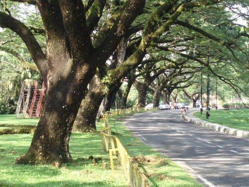 Shade raintrees along scenic road