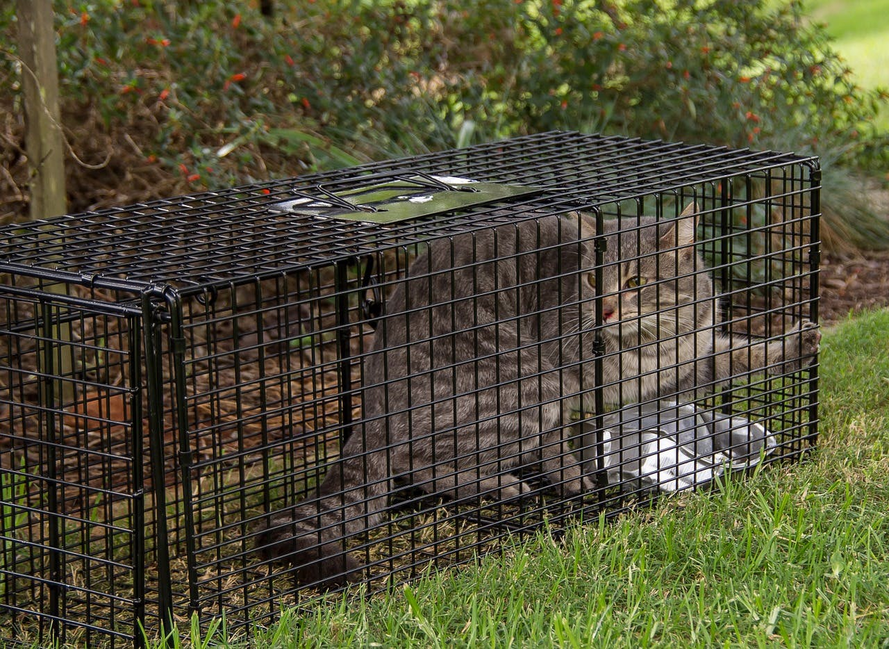 Feral cat in trap