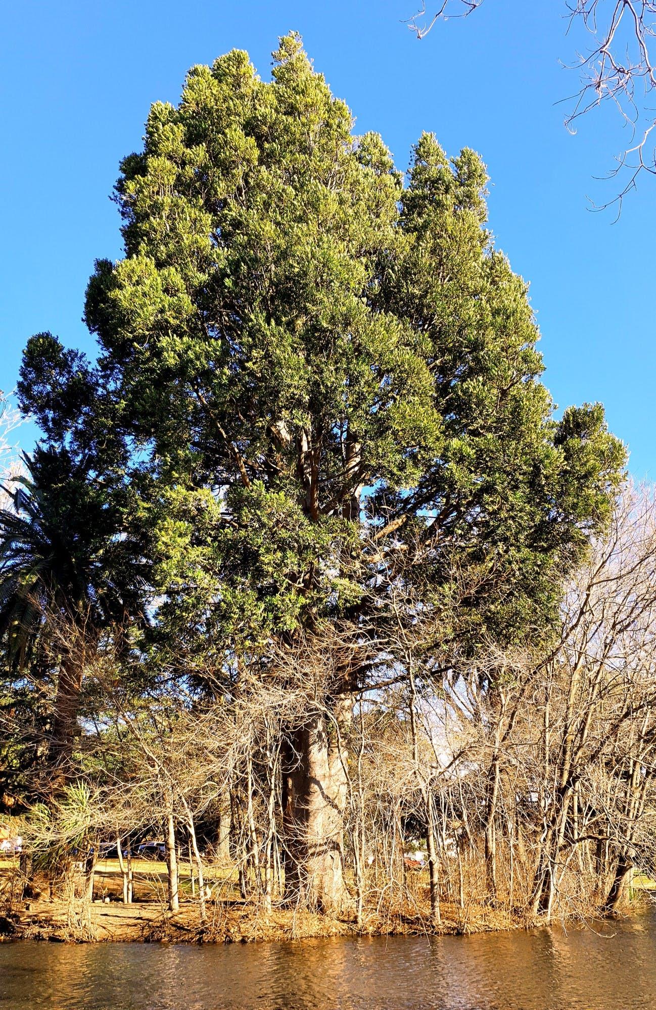 Agathis robusta - Australian Kauri