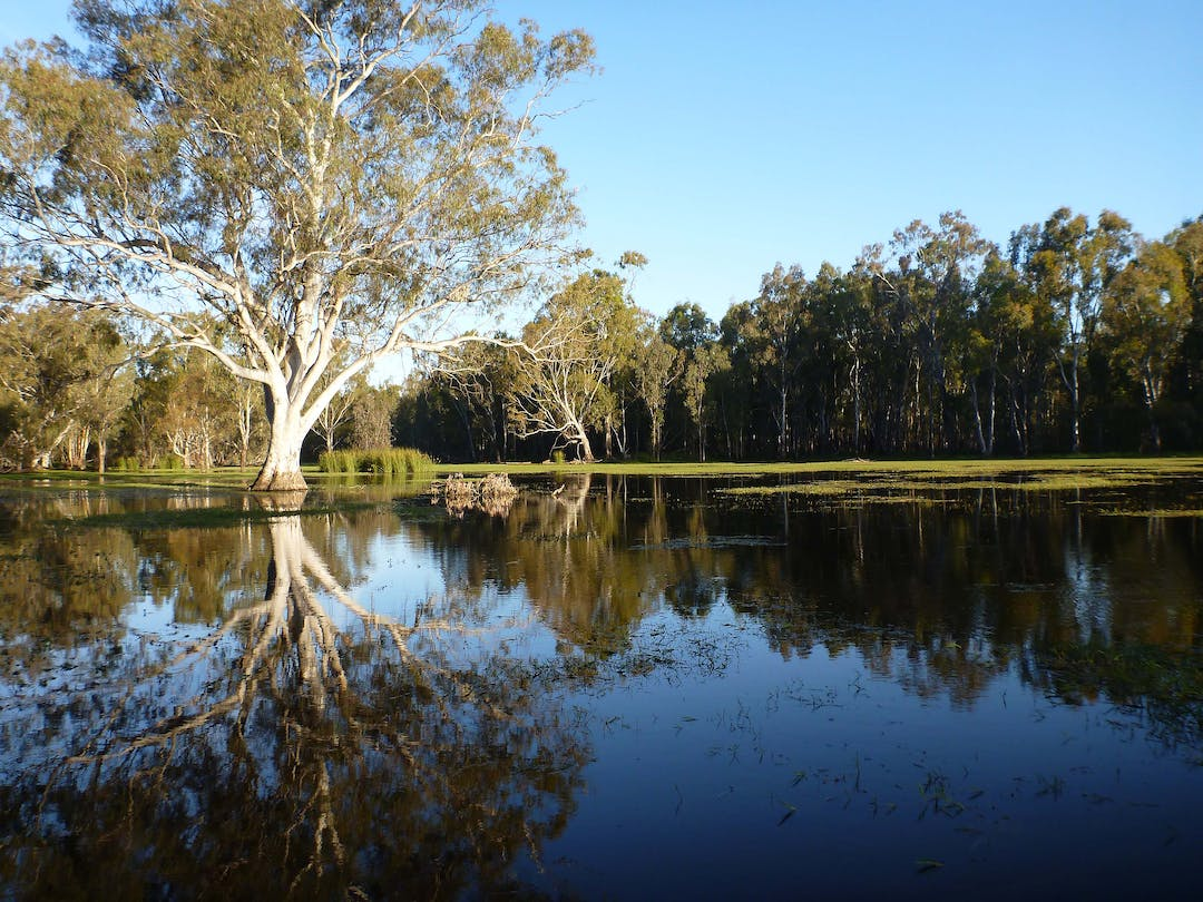 View of the river with Red gums on the bank