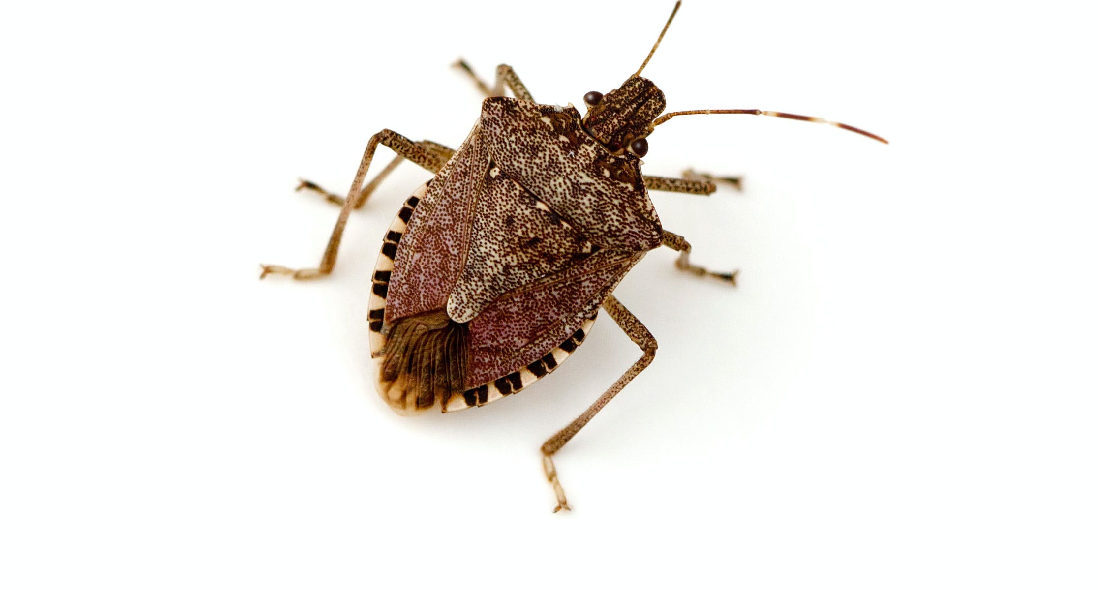 An adult brown marmorated stink bug