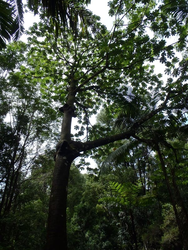 Mexican Bean Tree: Class 1 targeted for eradication