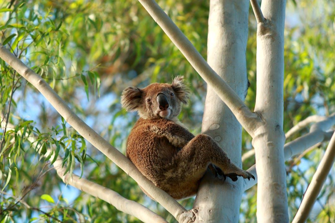 Koala relaxed