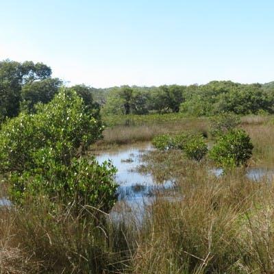 William Mulligan Reserve - Mangrove saltmarsh