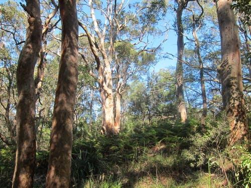 Artarmon Reserve bushland