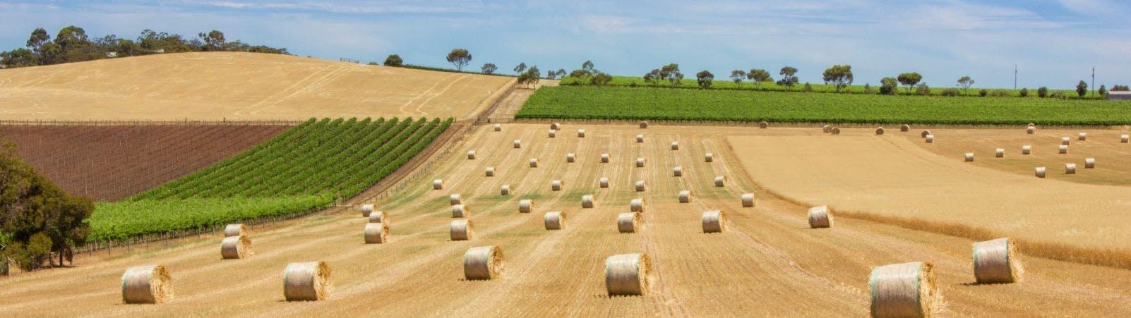 Grape vines meet wheat fields